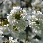 Marzo-Cerezo en flor