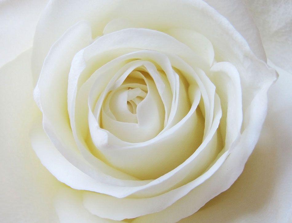 FP-rosa-blanca