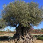 armonizacion-arboles-olivo